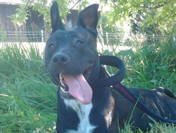 Ellya, chien Staffordshire Bull Terrier