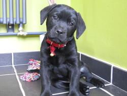 Ellyot, chien Labrador Retriever