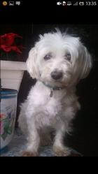Elma, chien Bichon maltais