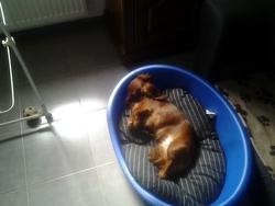 Elma, chien Teckel