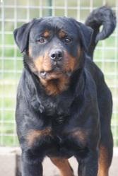 Elma Vdf', chien Rottweiler