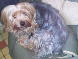 Elmer, chien Yorkshire Terrier