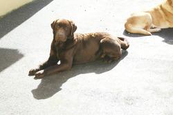 Elmer, chien Labrador Retriever