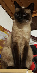 Elmira, chat Siamois