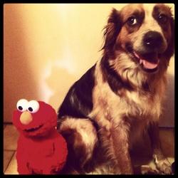 Elmo, chien Berger australien