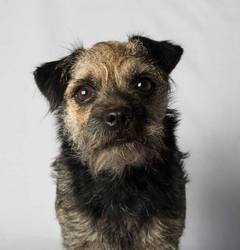 Elo , chien Border Terrier