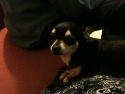 Elo Kitty, chien Chihuahua