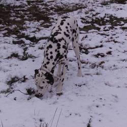 Eloa, chien Dalmatien