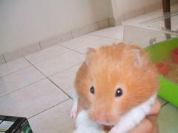 Elodie, rongeur Hamster