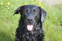 Elphy, chien Labrador Retriever