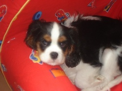 Elroy, chien Cavalier King Charles Spaniel