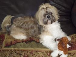 Elroy, chien Shih Tzu