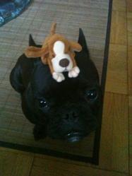 Elsa, chien Bouledogue français