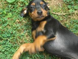 Elsa, chien Pinscher