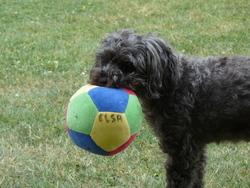 Elsa, chien Caniche