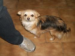 Elsa, chien Chihuahua