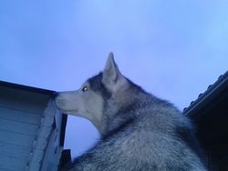 Elsa, chien Husky sibérien