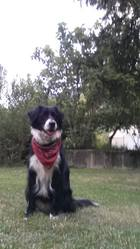 Elsa, chien Border Collie