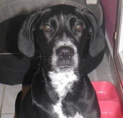 Elsa, chien Dalmatien