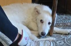 Elsa, chien Berger de Maremme et des Abruzzes