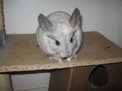 Elsa, rongeur Chinchilla