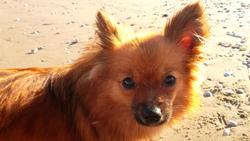 Elsie, chien Spitz allemand