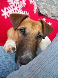 Elson, chien Fox-Terrier