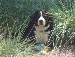 Elsy, chien Bouvier bernois