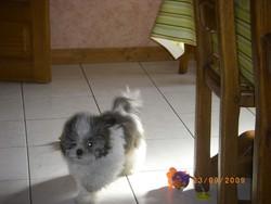 Elton, chien Shih Tzu