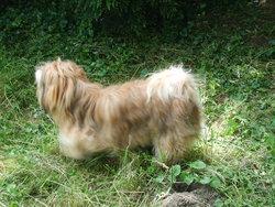 Elton, chien Lhassa Apso