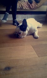 Elton, chien Bouledogue français