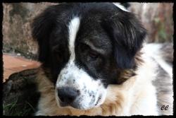 Elurka, chien Berger du Caucase