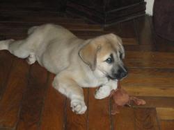 Elvi, chien Berger d'Anatolie