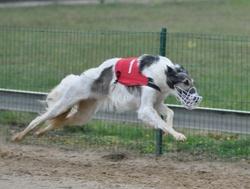 Elvira De Prjevalski, chien Barzoï