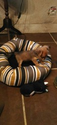 Elvis, chien Chihuahua
