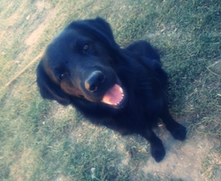 Elvis, chien Golden Retriever