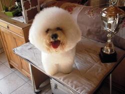 Elvis, chien Bichon à poil frisé