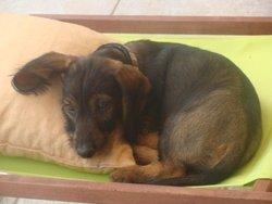 Elvis, chien Teckel