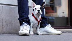 Elvis, chien Bouledogue français