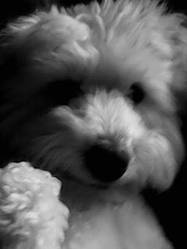 Elvis, chien Coton de Tuléar