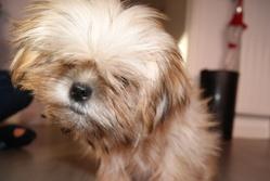 Elvis, chien Shih Tzu