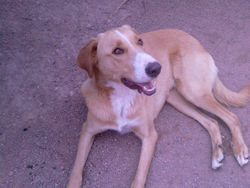 Elvis, chien Beauceron
