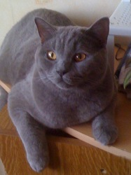 Elvis, chat British Shorthair