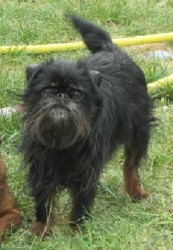 Elvis, chien Griffon belge