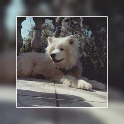 Elvise, chien Samoyède