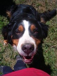 Elvyna, chien Bouvier bernois