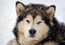 Elwing, chien Malamute de l'Alaska