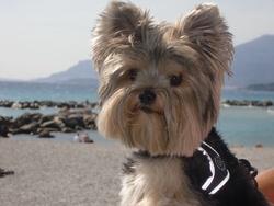 Elwood, chien Yorkshire Terrier