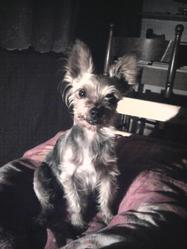 Ely, chien Yorkshire Terrier
