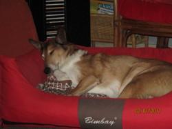 Ely Du Clos Des Duchesses, chien Colley à poil court